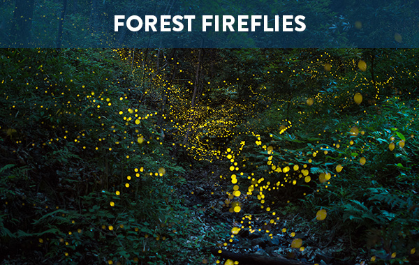 Forest Fireflies, Japan